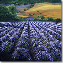 Lavender - Summer in Provence